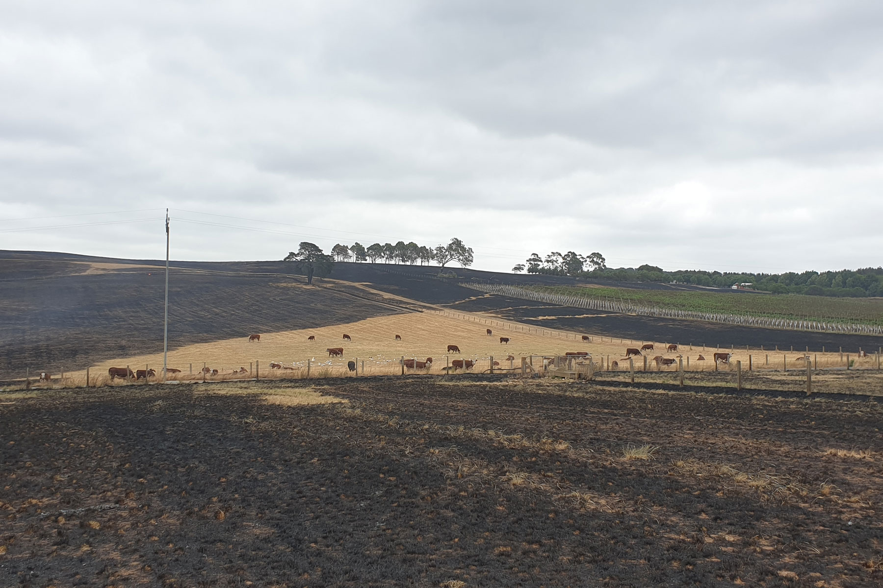 The Juers family are thanking God that all their cattle survived the fire that decimated large parts of the Adelaide Hills on 20 December.