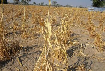 A field of dead millet crop in Omusati region, northern Namibia. © LWF/M. Retief