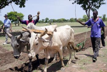 CAR refugees plow their field with the animals and plow provided by LWF in Southern Chad. Photo: LWF/C. Kästner