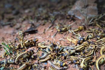 Dead locusts in Shilabo, Ethiopia's Somali region, December 2019. Many locust have died as a result of spraying. Photo: FAO/Petterik Wiggers