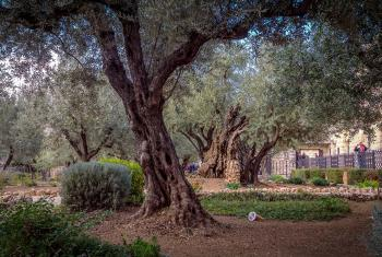 """""""I'd like to believe the olive trees in the Gethsemane garden remember. That creation remembers."""" Photo: LWF/A. Danielsson"""