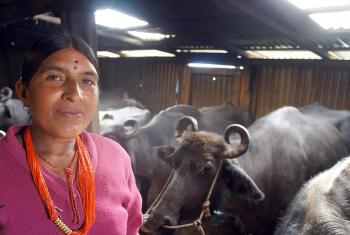 Dil Kumari with the water Buffalo herd she built up with an initial cooperative loan. Photo: LWF/ C. Kästner