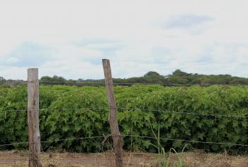 A crop of jatropha, an oil fruit used for biofuel production in central Mozambique. Photo: Justa Paz