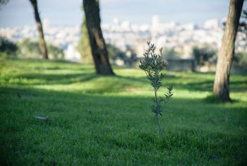 An olive tree in Jerusalem, symbolizing the hope for peace in the Middle East. Photo: LWF/M. Renaux