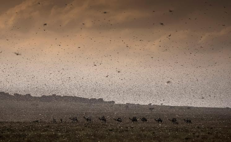 A herd of camels is trying to find its way through an invasion of locust in Ethiopia, Jijiga, December 2019. Photo: FAO/Petterik Wiggers