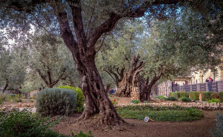 """I'd like to believe the olive trees in the Gethsemane garden remember. That creation remembers."" Photo: LWF/A. Danielsson"