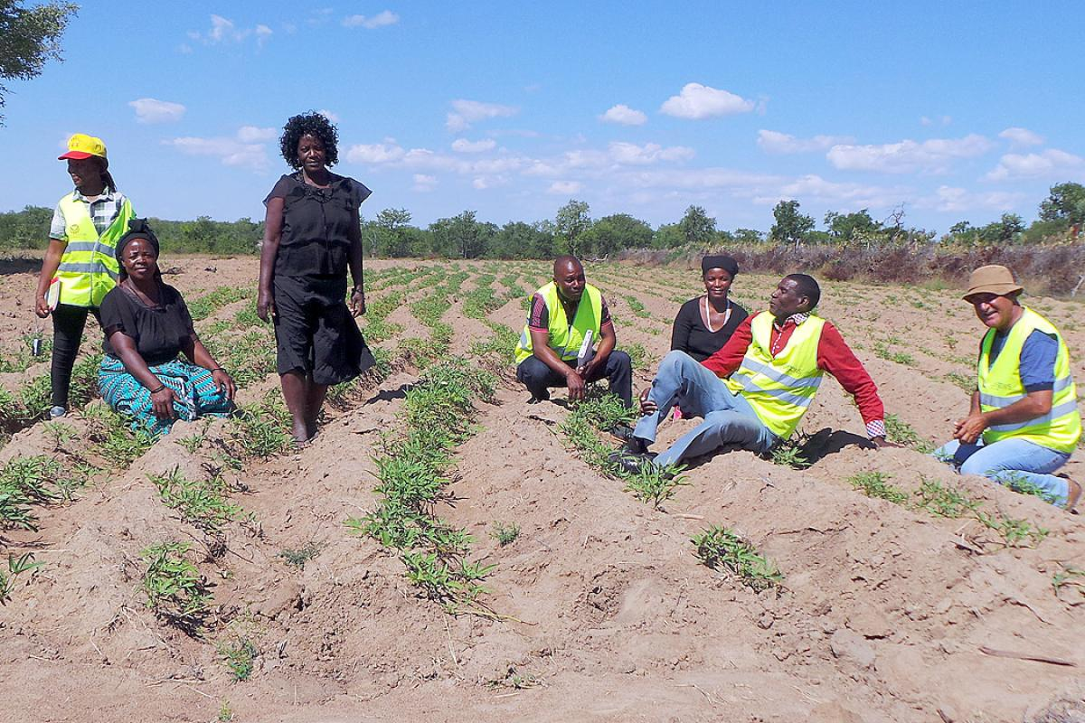 A demonstration farm for drought-resistant sweet potatoes in Gambos municipality, Huila province, southern Angola. Photo: LWF Angola/Bely Mangika