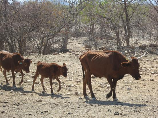 Livestock in Namibian drought. -LWF